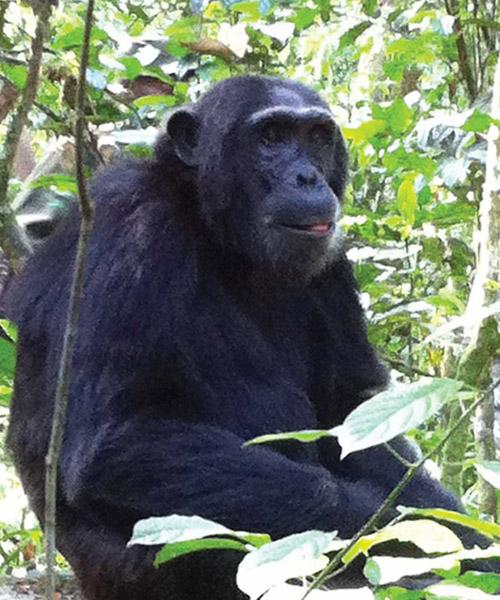 7 Days Chipanzees Gorillas