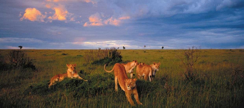 bigtime-safaris-lion-family-lion-pride-masai-mara-national-reserve-kenya
